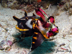 Flamboyant Cuttlefish In Kapalai. Tools: Canon S1 IS, Ino... by James Ong