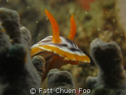 Peekaboo! Chromodoris Magnifica Nudibranch hiding in cora... by Fatt Chuen Foo