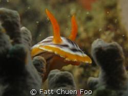 Peekaboo! Chromodoris Magnifica Nudibranch hiding in cora... by Fatt Chuen Foo