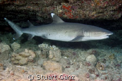 White tip reef shark, This one has a hook in the mouth an... by Stuart Ganz