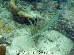 Trumpet fish on the inside reef at Lauderdale by the Sea by Michael Kovach