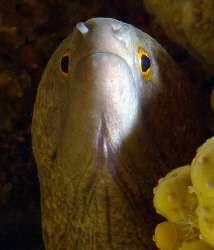 Yellowmargin Moray from a different angle by Martin Dalsaso