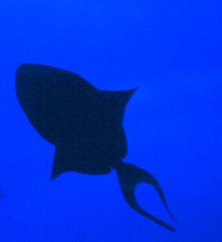 Triggerfish Silouhette.   Digitally enhanced w/PhotoShop. by Beverly Speed