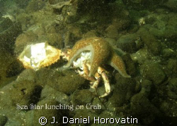 SeaStar lunching on Crab. Poor vis, subject spotted with ... by J. Daniel Horovatin