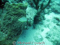 Silver Porgy on the Inside Reef at Lauderdale by the Sea by Michael Kovach