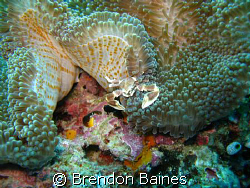 porcelian crab in anenome shot with canon g9 standard cas... by Brendon Baines