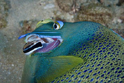 Cleaner wrasse looking for somethng to eat in the gills o... by Ross Gudgeon