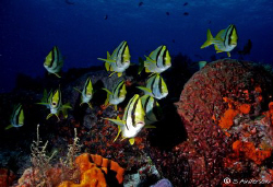 This photo of the schooling Porkfish was taken last week ... by Steven Anderson