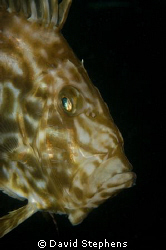 John Dory seen under Swanage pier, October 2008. Nikon D1... by David Stephens