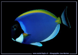 A Blue Tang... :O) .... by Michel Lonfat