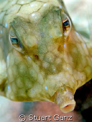 Cowfish by Stuart Ganz