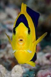 Bicolour Angelfish.  Wakatobi, SE Sulawesi.  Canon 40D & ... by Ross Gudgeon