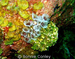 Feather Dusters seen in Grand Cayman August 2008.  Photo ... by Bonnie Conley