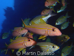 Yellowfin and Yellow-Banded Goatfish by Martin Dalsaso