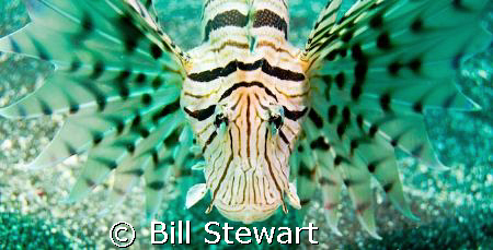 Lionfish taken during a dive at Osezaki in Suruga Bay, we... by Bill Stewart