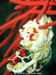 A young albino basket star on a red sea fan by Anthony Wooldridge