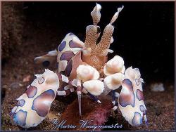 Harlequin Shrimp (Hymenocera elegans) at Seraya, Bali (Ca... by Marco Waagmeester