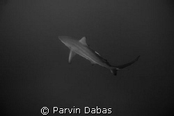 white tip by Parvin Dabas