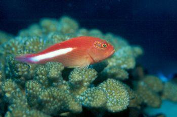 Arceye hawkfish taken in Palau w/Nikon N90s and 105mm lens. by Beverly Speed