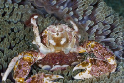 Woohoo!!  Look at all my babies.  Porcelain Crab with egg... by Ross Gudgeon