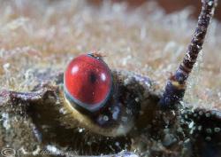 Velvet swimming crab's eye. Menai straits. D200,60mm, 2xT... by Derek Haslam