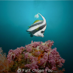 Bannerfish in the sun, Hin Daeng, Thailand by Fatt Chuen Foo