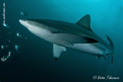 Sharks, what a nice animals!! by Victor Tabernero