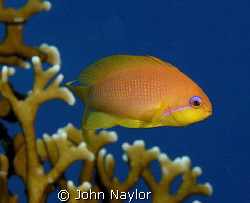 anthia and fire corals by John Naylor