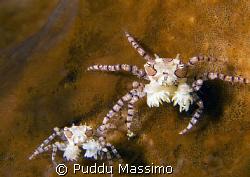 anemon crab family,nikon d2x 60mm macro,manado by Puddu Massimo