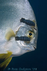 Batfish with some parasitic isopods attached to its face.... by Ross Gudgeon