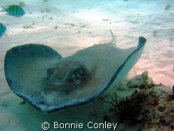 Photo taken at Stingray City, Grand Cayman in August 2008... by Bonnie Conley