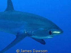 Thresher Shark. I didn't expect him to come so close, so ... by James Dawson