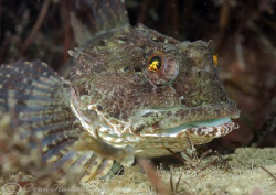 Long spined scorpion fish. North Wales. D200, 60mm. by Derek Haslam