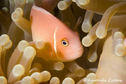 Pink Anemone Fish in Micronesia ©Amanda Cotton by Amanda Cotton