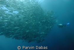 school of jacks with diver by Parvin Dabas