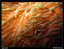Anemone Abstract. Canon A630, internal flash. by Stephen Holinski