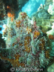 Commerson's Frogfish blending in with the reef ....as always by Kristin Belew
