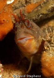Tompot blenny under Swanage pier, October 2008. Taken wit... by David Stephens