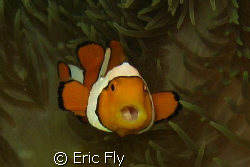 Gotchya.  Lucky shot early am Nomad Divers house reef Lem... by Eric Fly