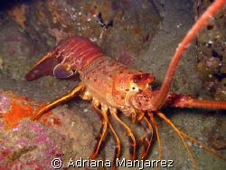 california lobster at neptune's finger, Cabo San Lucas by Adriana Manjarrez