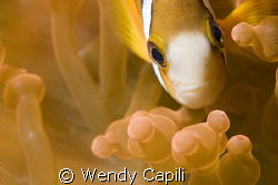 Red Anemone at Big Drop Off Palau using NikonD80 + 60mm macr by Wendy Capili