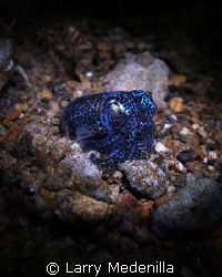 Bobtail on a night dive.  My torch as my light. SP350 Oly... by Larry Medenilla