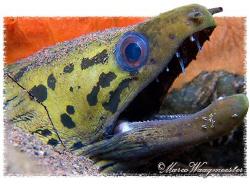 Spot-face Moray Eel (Gymnothorax fimbriatus) - Seraya, Ba... by Marco Waagmeester