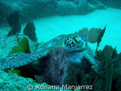 Turtle resting at Neptune's Finger in Cabo San Lucas by Adriana Manjarrez