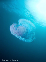 One of the many jellyfish we encountered swimming above t... by Amanda Cotton