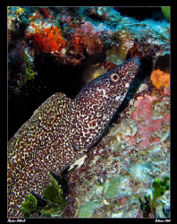 Moray.  Canon G7, Sea and Sea YS27DX by Stephen Holinski