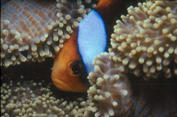 Allard's Anemonefish taken in Chuuk with Nikon N90s & 105... by Beverly Speed