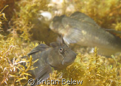 Check out his smile!!  Zebra Blenny in a tide pool near N... by Kristin Belew