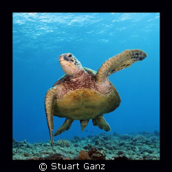 "Hawaiian Green Sea Turtle, ""The HONU"" by Stuart Ganz"