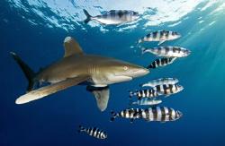 Oceanic + pilotfish by Dray Van Beeck